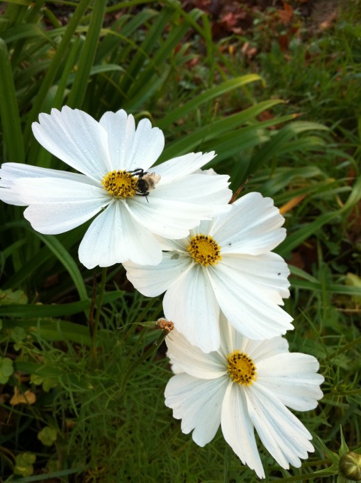 Bees love Cosmos flowers!
