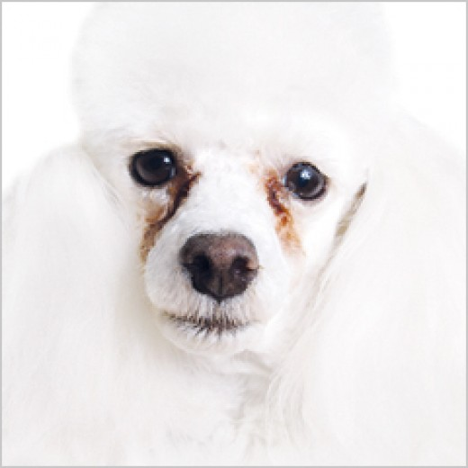 Tearstains are more noticeable on white dogs.
