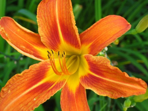 These orange daylilies spread nicely to fill in any bare spots in your garden.