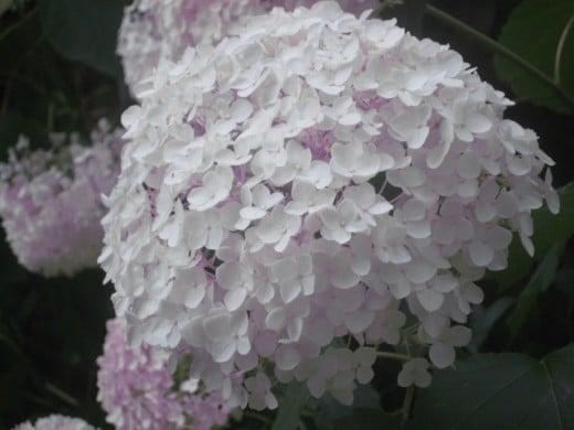 Hydrangea (perennial)