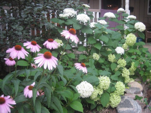 Echinacea and Hydrangea flowers