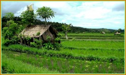 People Will Pass this rice field when they visit Tirta Gangga Water Palace.