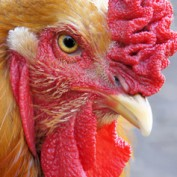roosterbob profile image