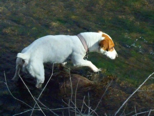 The hunting instincts of Jack Russell Terriers are legendary