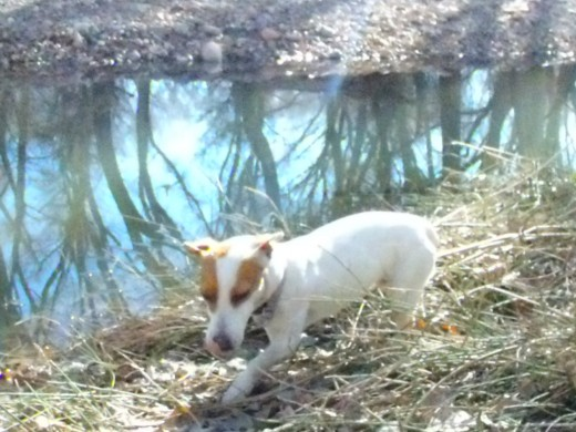Jack Russells were never intended to be simply household pets. Their strong hunting and chasing instincts are inappropriate in a household setting