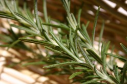 Rosemary has a piney citrus aroma