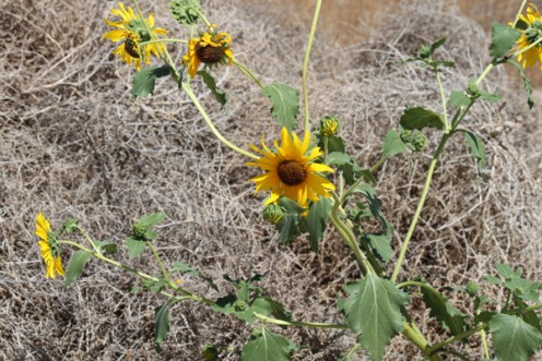 Seeing positive amongst the dull situations. Like these sunflowers through a pile of tumbleweeds in the sandy desert!