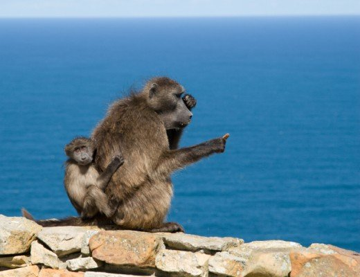 Mother baboon with baby at Cape Point Reserve