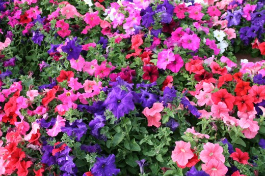 Rioting Petunias January