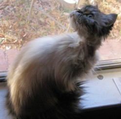 A Cat Rescue Tale:  Himalayans and Persians