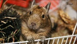 Meet the Degu