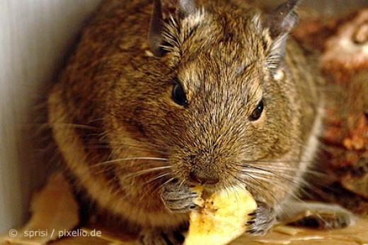 Degu eating. If not eating, they are being explorers.