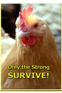 Only the best chickens get to reproduce in nature.