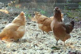 Hens throw out their chest and get tall when proving they belong at the top of the pecking order.