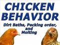 Chicken Behavior Video, Dirt baths, Pecking order and Molting