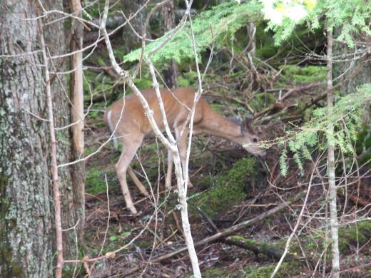 Deer in Woods- Wild Game !!