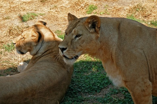 The Jacksonville Zoo has two lions and two lionesses: Tamu, Catali, Mshoni, and Laini.