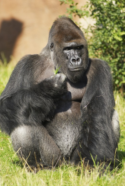 Some of the most interesting zoo animals are the gorillas.