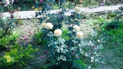 Roses of different colors & their gardening techniques
