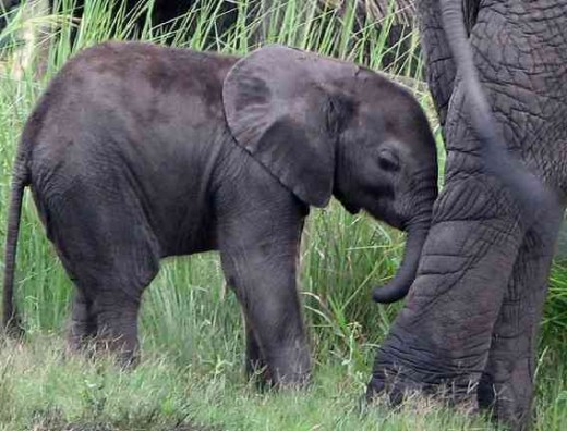 Baby African elephant following a herd