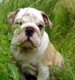The American Bulldog