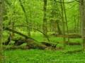 Bialowieza Puszcza: Europe's Last Primeval Forest