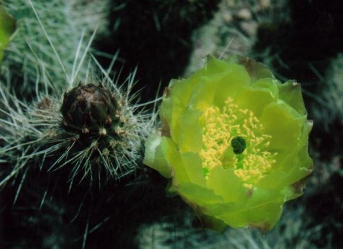 Old man prickly pear bloom, Mojave Desert, CA.