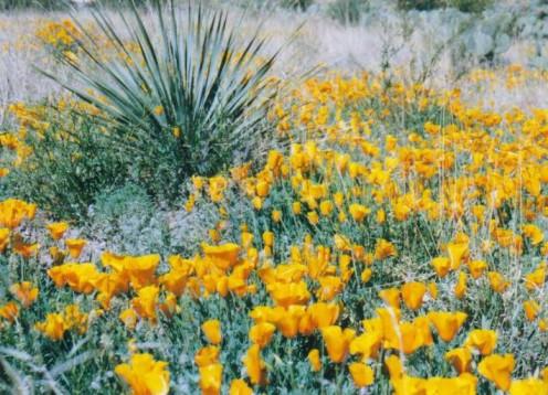 Poppies, Rockhound State Park, NM.