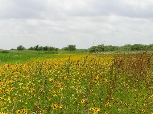 Wild flowers, Lake Arrowhead State Park, TX.