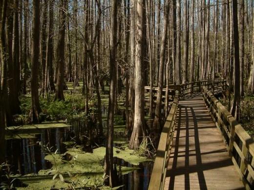 Highlands Hammock State Park.