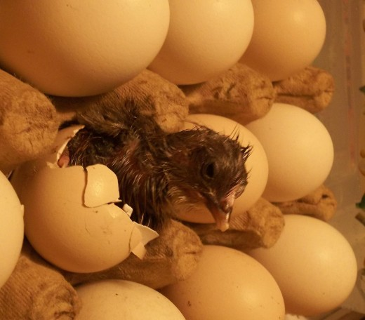 The fisrt chick pops out in a sea of eggs.
