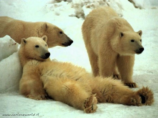 They aren't really Polar Bears.  They only pretend to be.