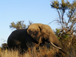 A Large African Elephant