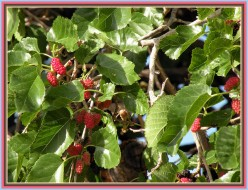 Health Benefits of Mulberries