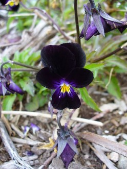 Photo 3 - Nearly Black Viola - I love this little flower, it is so pretty.