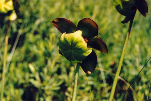 Photo 7 - Purple Pitcher Plant Flower - These have the strangest design to them.