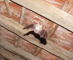 Bats in the Loft