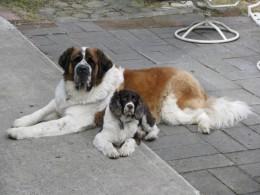 St. Bernard - Vedder; Springer Spaniel - Bella
