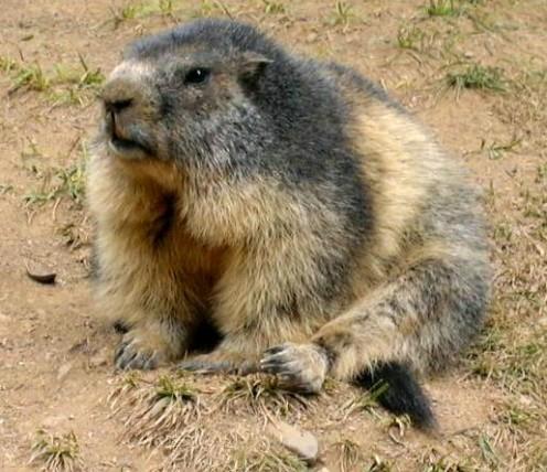 OK, so a marmot looks an awful lot like a groundhog...just sayin'.