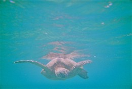While swimming at Ko ʻOlina, I was surprised by a turtle.