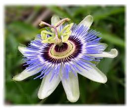 Passiflora flower for sleep