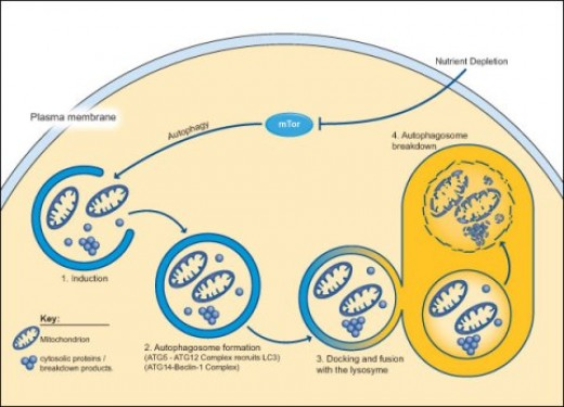 Process of autophagy