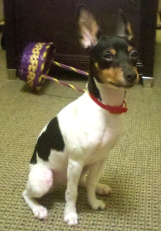 Another Min Pin Hub This One S About Chew Toys Hubpages