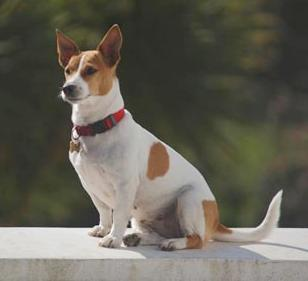 Short haired Jack Russell Terrier