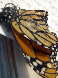 The Euthanasia Of A Butterfly