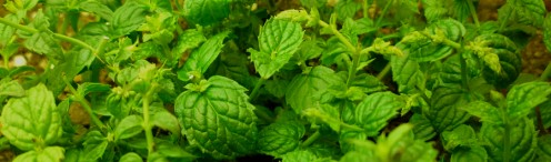 Mint Pests - Identification and Removal