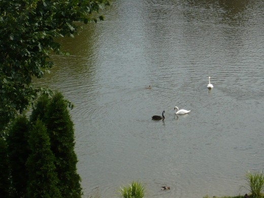 Stratford is lucky to have a Black Swan from Australia