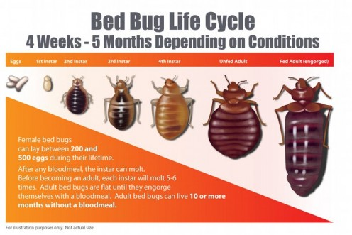 How Long Can Bed Bugs Be Dormant