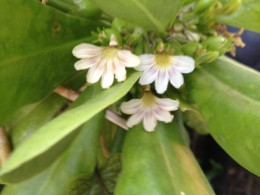 The ancient Hawaiian legend of the Naupaka blossom is well known to locals.