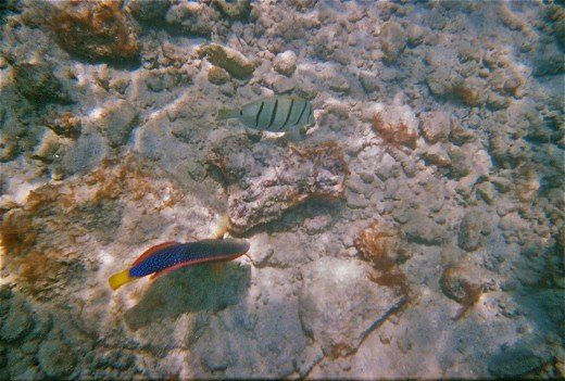 A Speckled Parrotfish  and Convict Tang  seem to be feeding off the rocky lagoon floor.